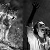 Bandas portuguesas ajudam lobo-ibérico
