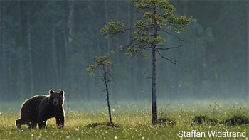 Bear by Staffan Widstrand
