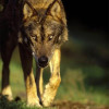 Grupo Lobo - Lobo-ibérico