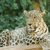 Leopardo-da-Pérsia
