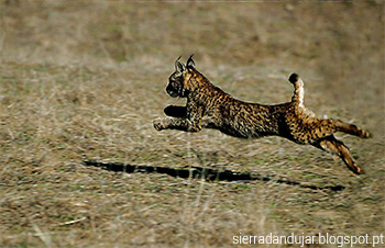 Lince-ibérico a correr