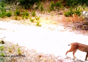 Lince-ibérico em Vila Nova de Milfontes