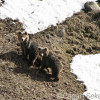 Ursos - Cagan Sekercioglu
