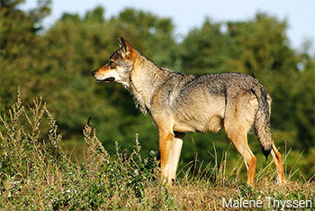 Canis lupus - Malene Thyssen