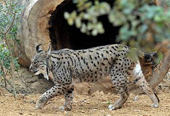 Lince-ibérico - Zoo de Jerez