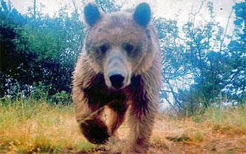 Urso-europeu - Ursus arctos arctos