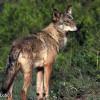 Lobo-ibérico - Grupo Lobo