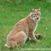 Lince-euroasiático - Lynx lynx