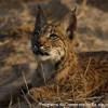 Lince-ibérico - Lynx pardinus