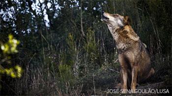 Lobo-ibérico - Canis lupus