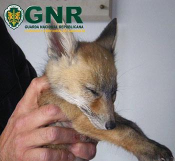 Raposa - Vulpes vulpes - GNR Ribatejo