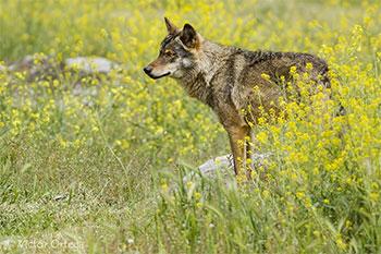 Lobo-ibérico - Canis lupus signatus - Victor Ortega