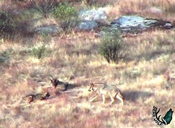 Lobos - Dear Wolf