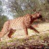 Lince-ibérico - Lynx pardinus - Life+IBERLINCE