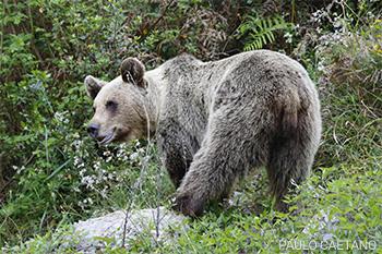 Urso-pardo - Ursus arctus - Paulo Caetano