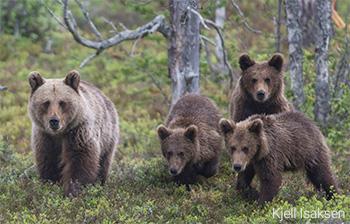 Urso-pardo - Ursus arctus - Kjell Isaksen