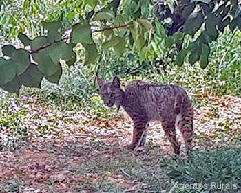Lince-ibérico - Lynx pardinus - Agentes Rurals