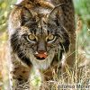 Lince-ibérico - Lynx pardinus - Alfonso Moreno - WWF