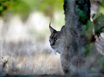 Lince-ibérico - Lynx pardinus - Expresso