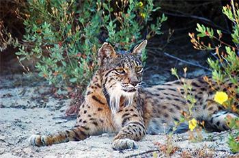 Lince-ibérico - Lynx pardinus - ICNF